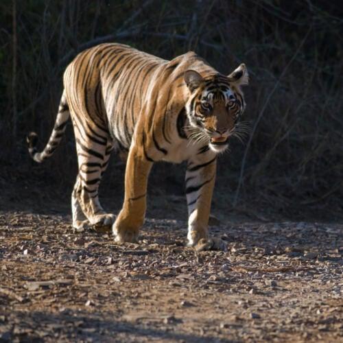 Tiger at Ranthambore National Park, India