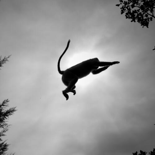 Langur monkeys live high in trees, and leap about with amazing skill.