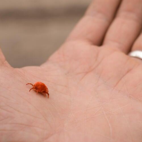 Giant red fuzzy mite in Botswana