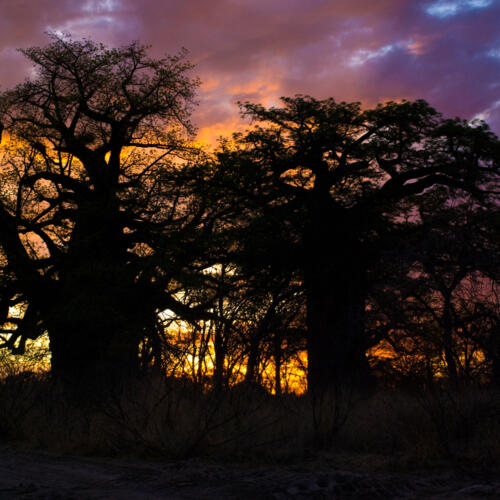 Sunset over two baobab trees.
